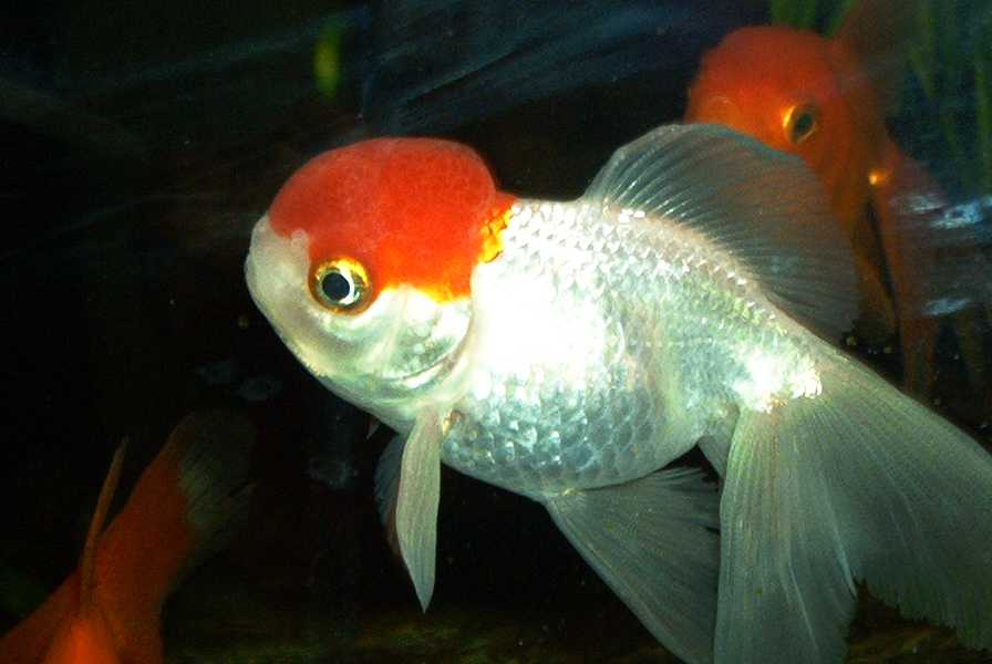 re: bebes poissons rouges Redcap