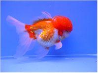 Mon oranda shishigara t te de lion nage a l 39 envers for Prix poisson rouge tete de lion