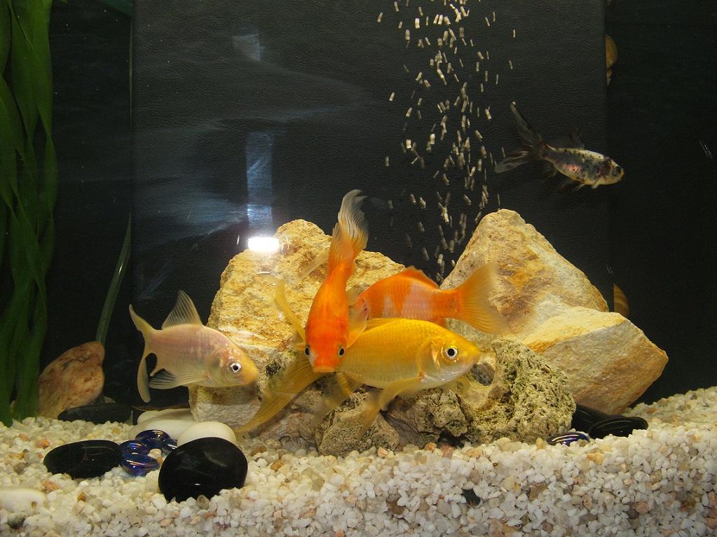 Vos poissons - Poisson rouge pinocchio ...