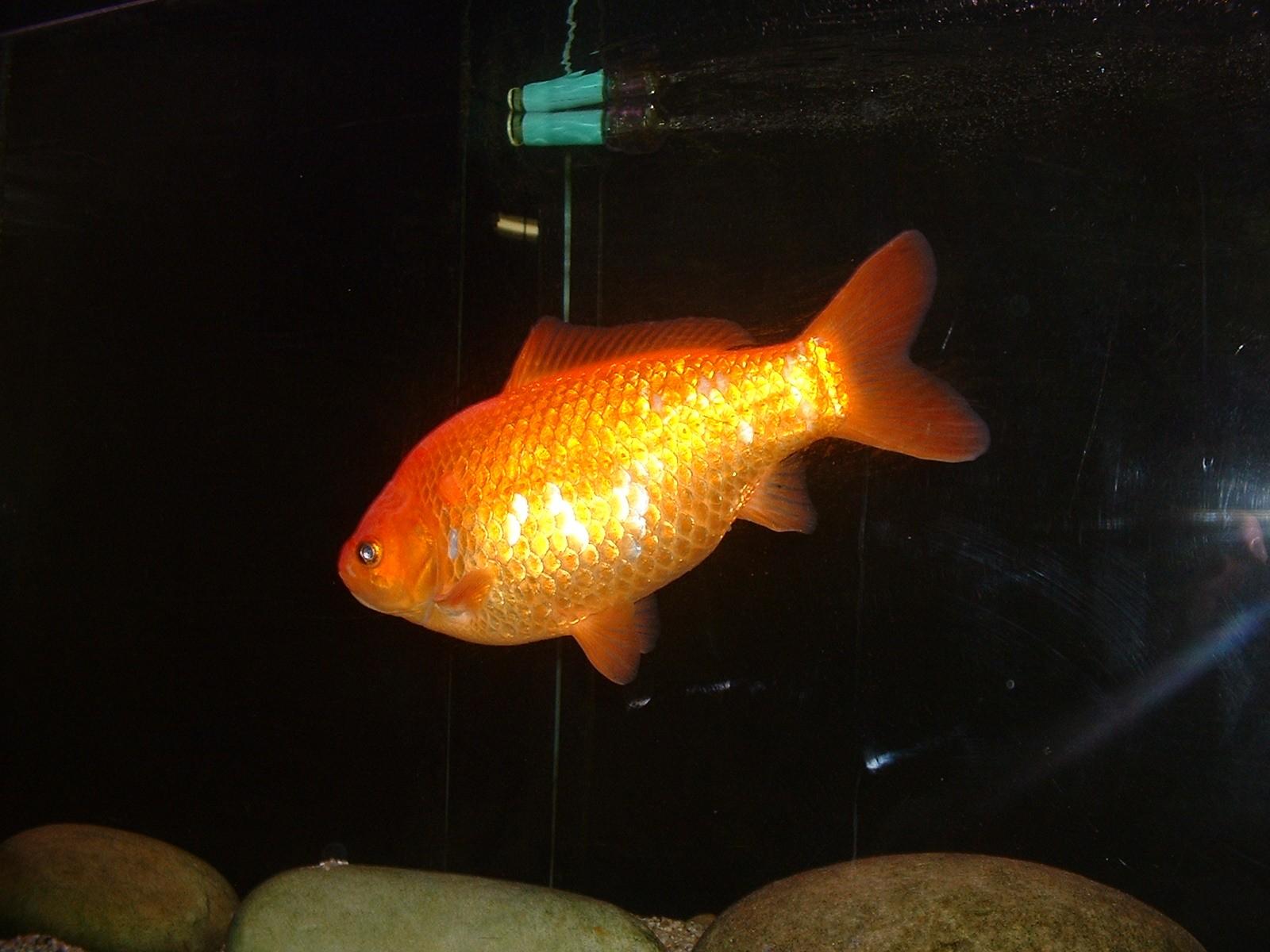 Vos poissons for Poisson rouge artificiel